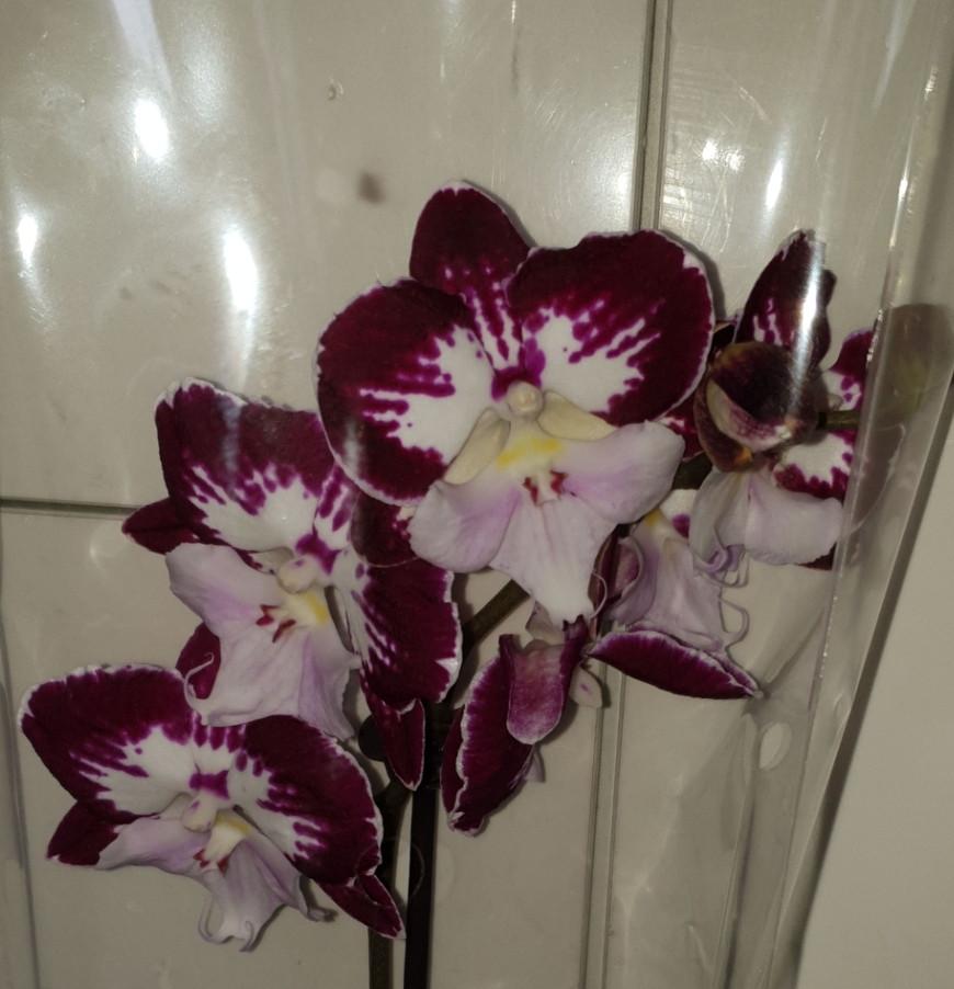 Орхидея Big Lip